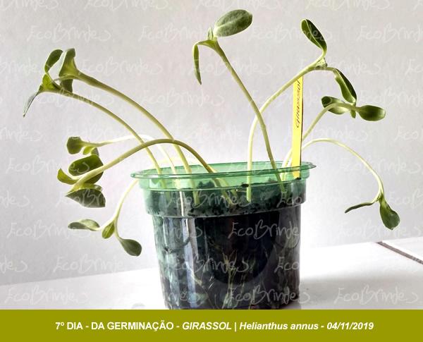 GERMINACAO_GIRASSOL_ECOBRINDES_04