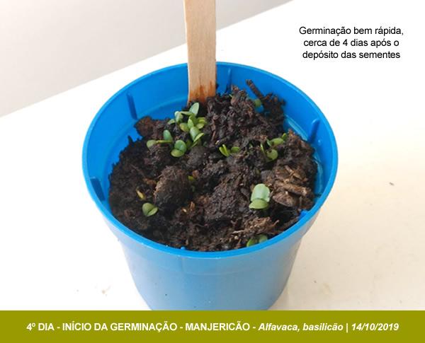 GERMINACAO_MANJERICAO_ECOBRINDES_02